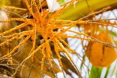 Schließen Sie oben von einer Palme mit Kokosnuss Lizenzfreie Stockfotos