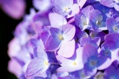 Schließen Sie oben von einer purpurroten Hortensieblume Stockfotografie