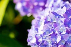Schließen Sie oben von einer purpurroten Hortensieblume Stockfotos