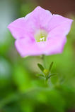 Schließen Sie oben von einer purpurroten Petunienblume und -stamm Stockfoto