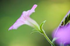 Schließen Sie oben von einer purpurroten Petunienblume und -stamm Lizenzfreies Stockfoto