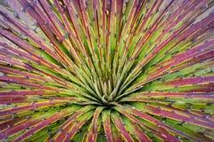 Schließen Sie oben von einer Puya Maculata-Bromelie in den ekuadorianischen Anden lizenzfreie stockfotografie