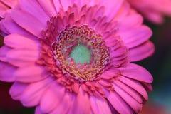 Schließen Sie oben von einer rosa Gerberablume mit einem grünen Herzen Stockfotos