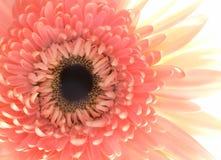 Schließen Sie oben von einer rosafarbenen Blume Stockbilder
