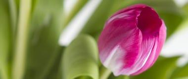 Schließen Sie oben von einer rosafarbenen Tulpeblume Stockfotos