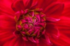 Schließen Sie oben von einer roten Blume #3 Stockfoto