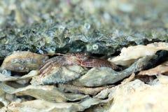 Schließen Sie oben von einer roten Krabbe Lizenzfreie Stockbilder