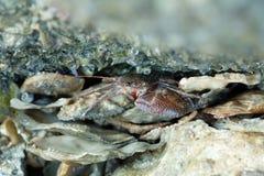 Schließen Sie oben von einer roten Krabbe Lizenzfreie Stockfotos