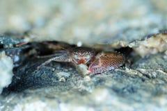 Schließen Sie oben von einer roten Krabbe Lizenzfreie Stockfotografie