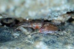 Schließen Sie oben von einer roten Krabbe Lizenzfreies Stockbild