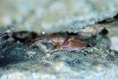 Schließen Sie oben von einer roten Krabbe Stockfotografie