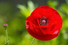 Schließen Sie oben von einer roten Mohnblumenblume Stockbilder