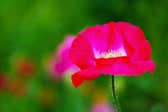 Schließen Sie oben von einer roten Mohnblumenblume Lizenzfreie Stockfotos