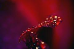 Schließen Sie oben von einer roten Rose, schwarzer Hintergrund Lizenzfreies Stockbild
