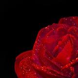 Schließen Sie oben von einer roten Rose, schwarzer Hintergrund Lizenzfreies Stockfoto