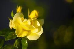 Schließen Sie oben von einer schönen gelben Blume lizenzfreies stockbild