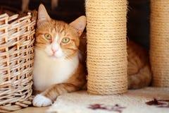 Schließen Sie oben von einer schönen Katze der Weiß- und Ingwergetigerten katze mit moltey golden-grünlichen Augen, hinter scratC stockbild