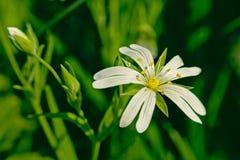 Schließen Sie oben von einer schönen weißen addersmeat Blume Lizenzfreie Stockbilder