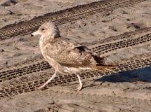 Schließen Sie oben von einer Seemöwe auf einem Strand lizenzfreie stockbilder