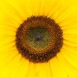 Schließen Sie oben von einer Sonnenblume Lizenzfreie Stockfotos