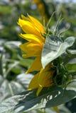 Schließen Sie oben von einer Sonnenblume stockbild