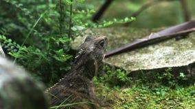 Schließen Sie oben von einer tuatara Eidechse stock video