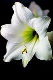 Weiße Blüte einer Amaryllis Stockbilder