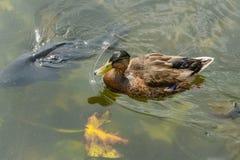 Schließen Sie oben von einer weiblichen Ente auf einem See Lizenzfreie Stockfotografie