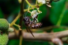Schließen Sie oben von einer weiblichen stingless Honigbiene auf Blättern und Blumen Stockbilder