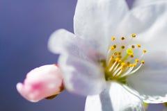 Schließen Sie oben von einer Yoshino-Kirschblüte Stockfoto