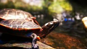 Schließen Sie oben von einer Zierschildkröte stock footage