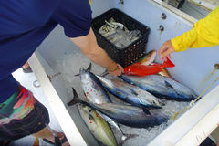 Schließen Sie oben von einigen Thunfischen innerhalb eines weißen Kastens am Fort Lauderdale, Florida Stockfotografie