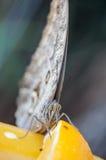 Schließen Sie oben von Eule Schmetterling u. von x28; Caligo SP u. x29; Lizenzfreie Stockfotografie