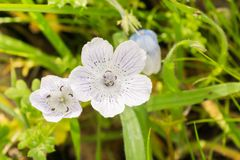 Schließen Sie oben von fast weißen Baby-Blau-Augen Nemophila-menziesii Wildflowers, Kalifornien lizenzfreie stockfotografie