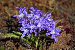 Schließen Sie oben von Frühlingsblumen Chionodoxa-luciliae, Ruhm-von-dschnee Stockfotos