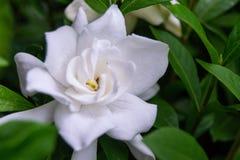 Schließen Sie oben von Gardenia Bush Flower lizenzfreies stockfoto