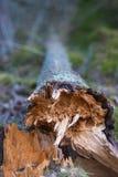 Schließen Sie oben von gefallenem Baum lizenzfreie stockfotografie