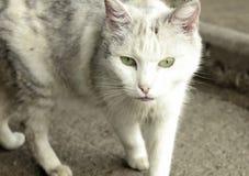 Schließen Sie oben von gehender Katze Lizenzfreies Stockfoto