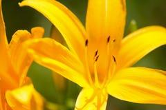 Schließen Sie oben von gelben Lily Flower Stockfotos