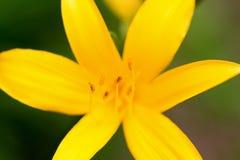Schließen Sie oben von gelben Lily Flower Stockfoto