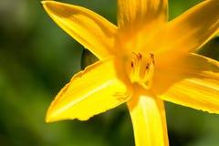 Schließen Sie oben von gelben Lily Flower Lizenzfreie Stockfotografie