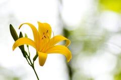 Schließen Sie oben von gelben Lily Flower Lizenzfreies Stockbild