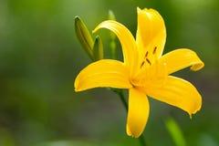 Schließen Sie oben von gelben Lily Flower Lizenzfreie Stockbilder