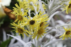 Schließen Sie oben von goldfarbigem Senecio nivea, gelbe Blumen mit Blattsilber Lizenzfreie Stockfotos