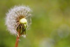 Schließen Sie oben von halben dendelion Samen, die weg durchgebrannt werden Taraxacumsamen lokalisierten stockbild