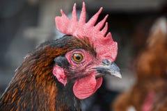 Schließen Sie oben von hen's Hauptstellung auf dem ländlichen Bauernhofyard Hühnerstand auf Scheunenyard Stockbilder