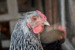 Schließen Sie oben von hen's Hauptstellung auf dem ländlichen Bauernhofyard Hühnerstand auf Scheunenyard Lizenzfreies Stockfoto