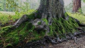 Schlie?en Sie oben von herausgestellter Wurzelstruktur des sehr alten Baums stockbilder
