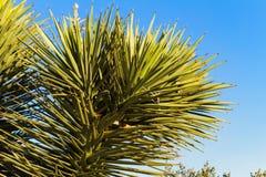 Schließen Sie oben von Joshua Tree, Nevada Lizenzfreie Stockbilder