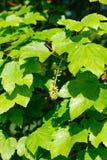 Schließen Sie oben von jungen grünen Acer-Blättern Lizenzfreies Stockbild